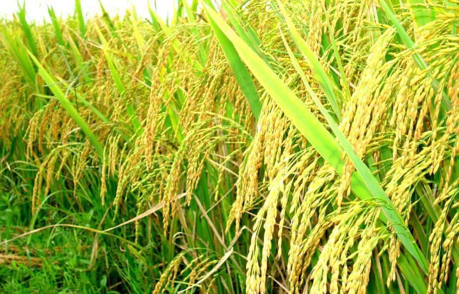 Cây trồng biến đổi gen ở Việt Nam
