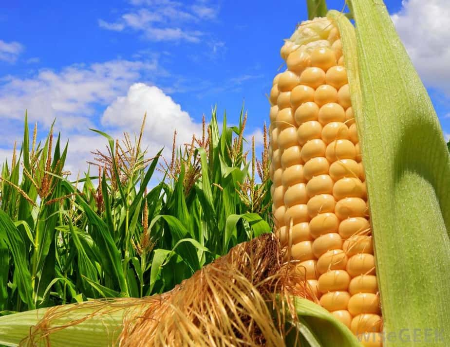 Tương lai cây trồng biến đổi gen ở Việt Nam