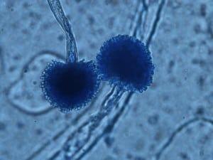 Aspergillus awamori - NBRC 4388