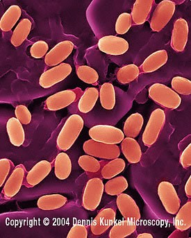 Bacillus stearothermophilus - NBRC 100862