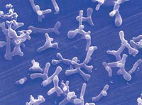 Bifidobacterium 2