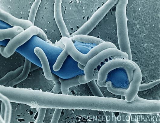 Trichoderma hamatum - NBRC 31932