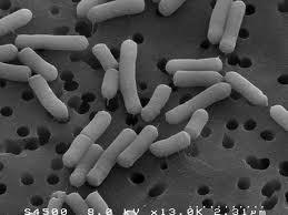 Lactobacillus casei - NBRC 15883