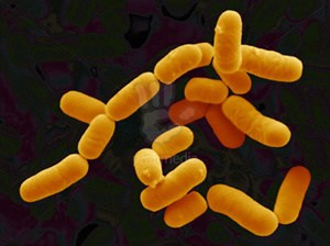 Lactobacillus rhamnosus - NBRC 3425
