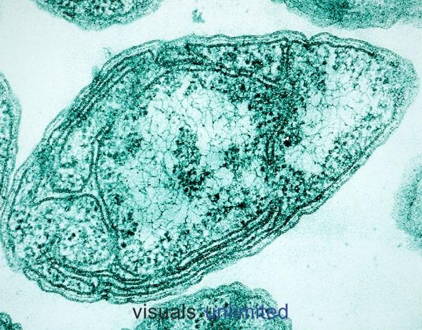 Nitrosomonas europaea - NBRC 14298