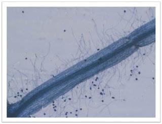 Pochonia chlamydosporia - NBRC 103141