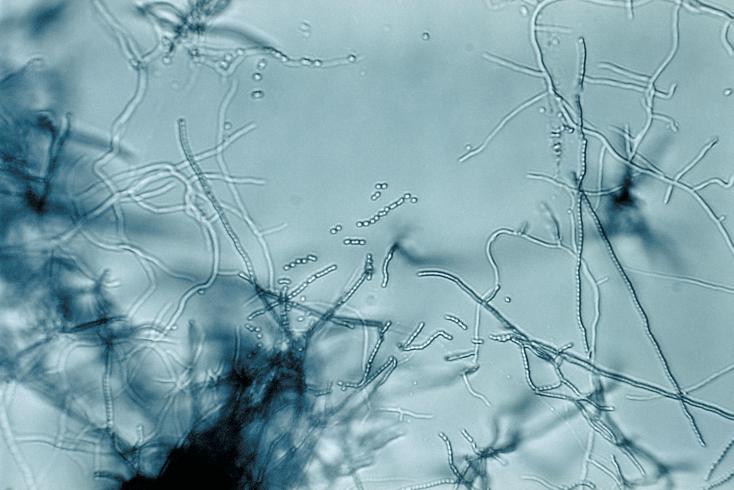 Streptomyces spp
