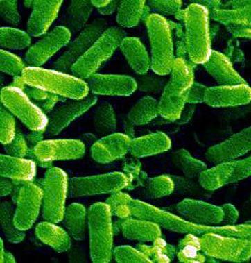 Escherichia coli - NBRC 102203