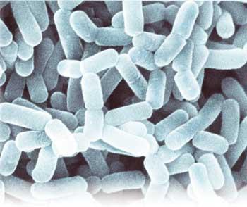 Lactobacillus animalis - NBRC 15882