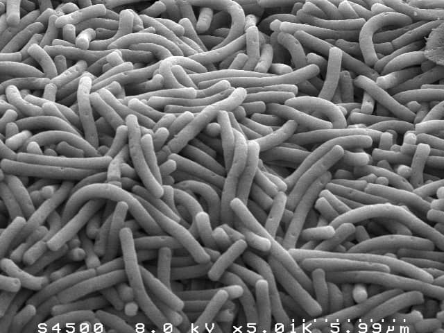 Lactobacillus bulgaricus - NBRC 13953