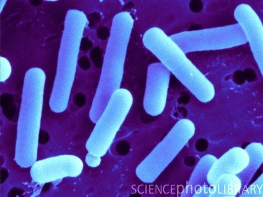 Lactobacillus reuteri - NBRC 15892