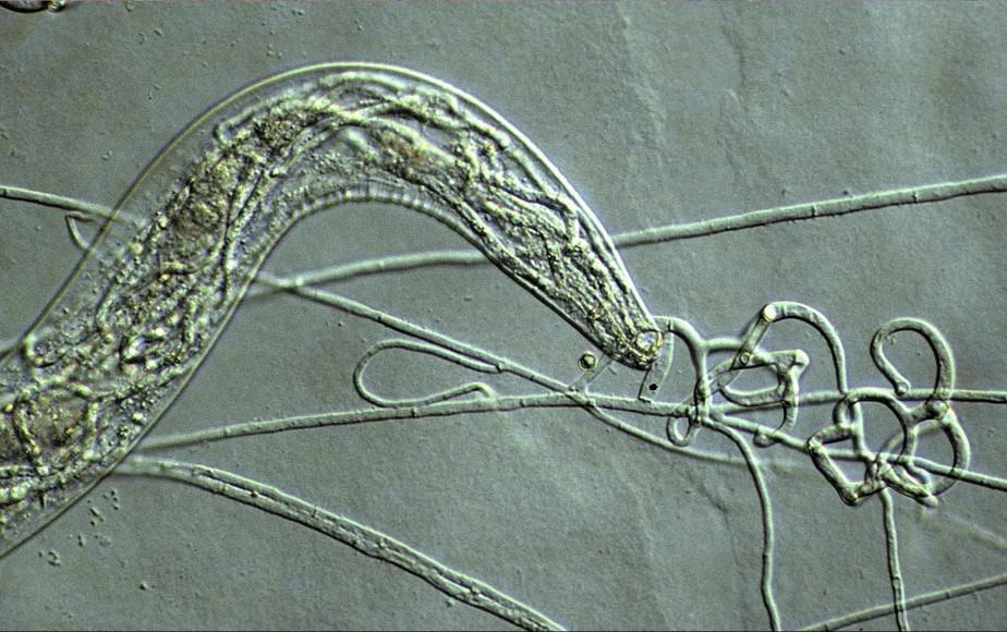 Arthrobotrys oligospora