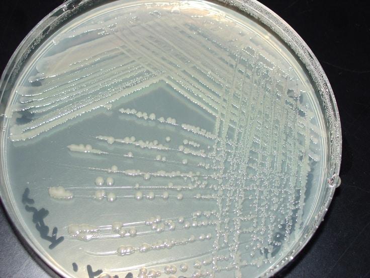 Enterobacter aerogenes - NBRC 13534