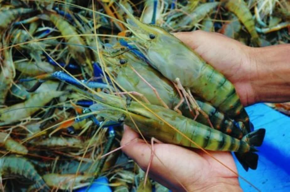 Sử dụng chế phẩm sinh học nuôi tôm càng xanh