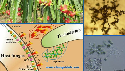 chế phẩm sinh học Trichoderma, nấm trichoderma đại học cần thơ, cách sử dụng nấm trichoderma