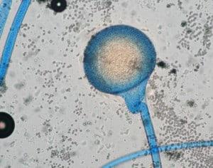 Rhizopus microsporus - NBRC 8631