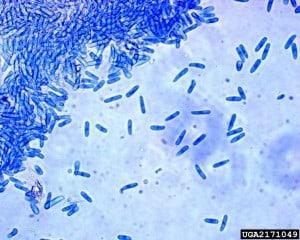 Colletotrichum gloeosporioides - NBRC 104624