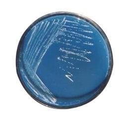 Azospirillum amazonense - NBRC 107773