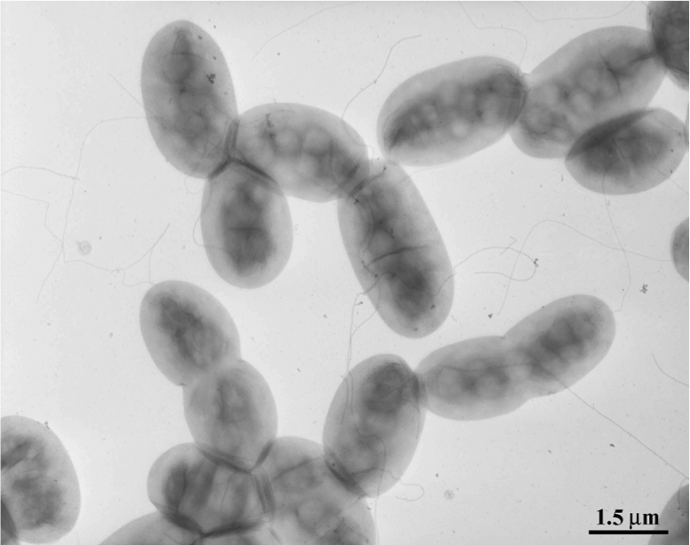 Azospirillum lipoferum - NBRC 102290