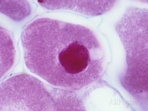 Rhizobium phaseoli - NBRC 14785