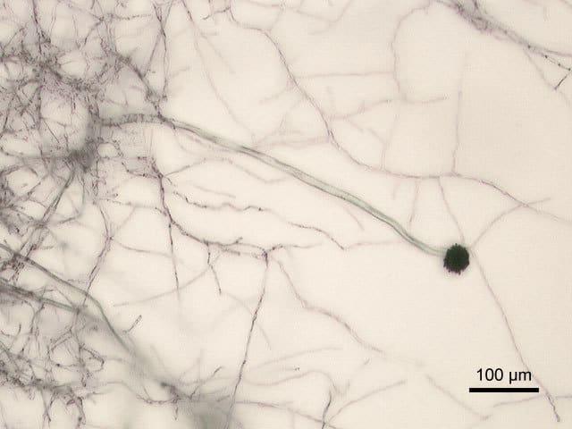 Aspergillus niger 2