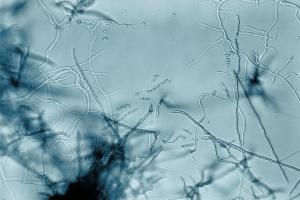 Streptomyces fradiae