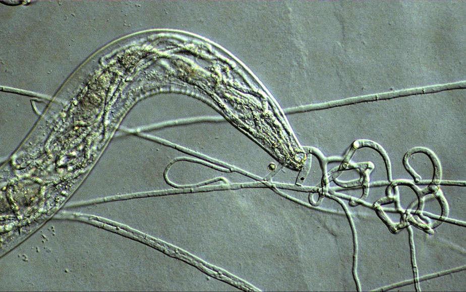 Arthrobotrys oligospora NBRC 32247