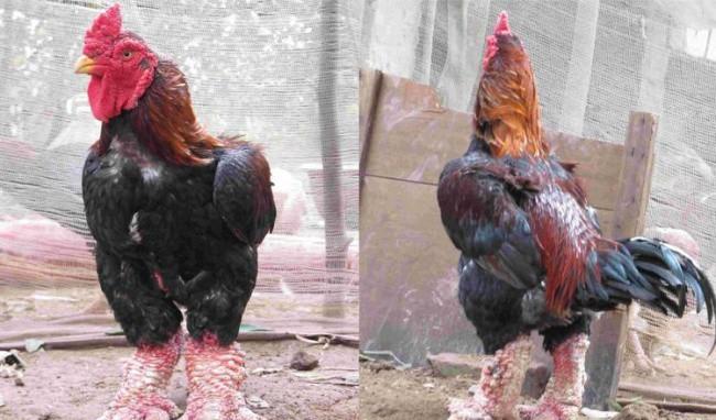 Cách chọn mua gà Đông Tảo thuần chủng