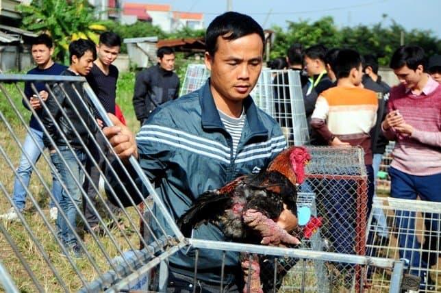 Hội thi gà Đông Tảo thuần chủng 3