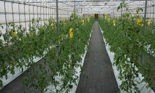 Nông nghiệp số - Vườn trồng cà chua được điều khiển từ xa