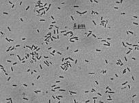 Paracoccus denitrificans, chủng vi sinh, chủng chuẩn ATCC, ATCC, chủng giống chuẩn