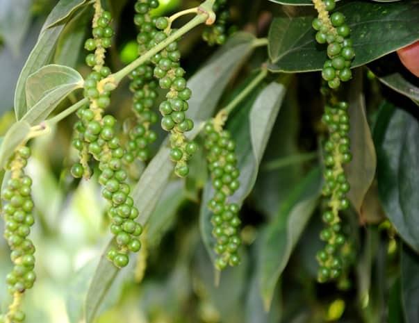 chitosan, chế phẩm sinh học, canh tác hồ tiêu, trồng cây hồ tiêu, hồ tiêu, cây tiêu