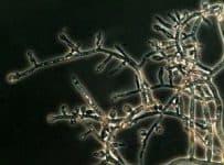 Myceliophthora thermophila, fungi, chủng giống chuẩn, chủng vi sinh, nấm, chế phẩm sinh học