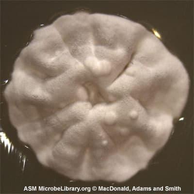 Streptomyces galbus, xạ khuẩn, chủng vi sinh, vi sinh vật, chủng chuẩn atcc