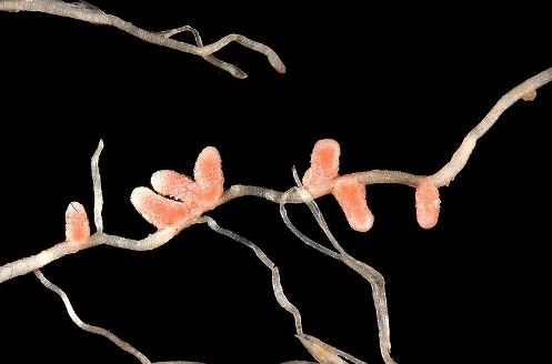Azospirillum, Biofertilizers, vi khuẩn cố định nitơ sống hội sinh
