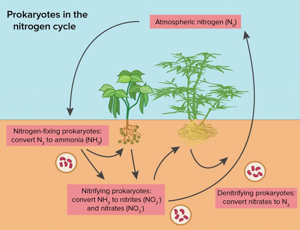 chu trình nito, chu trình cố định đạm sinh học