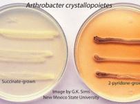 Arthrobacter crystallopoietes