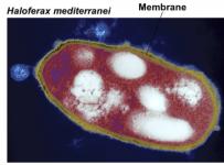 Haloferax mediterranei